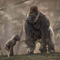 I want to be King of the Mountain (Backpackjoe) Tags: mountain zoo nikon san king sandiego gorilla father daughter sigma diego sandiegozoo kom fatheranddaughter gorillas kingofthemountain d600 d610 600mm nikond600 150600mm sigma150600mm nikond610 sigma150600mmf563dgoshsm