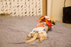 IMG_1958 (yukichinoko) Tags: dog dachshund yukata 犬 kinako 浴衣 ダックスフント ダックスフンド きなこ