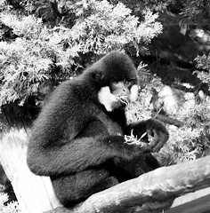 White cheeked gibbon 27121513bw (Leigh James (Fidgitydigit)) Tags: blackandwhite primate gibbon whitecheekedgibbon zoodelaflechefrancezoo