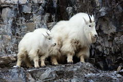 NANNY and her KID (laura's POV) Tags: mountaingoat wildlife animal critter winter cold mountain rock stone cliff wyoming alpinewyoming nature white lauraspointofview lauraspov explore
