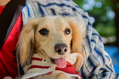 IMG_1239 (yukichinoko) Tags: dog dachshund 犬 kinako ダックスフント ダックスフンド きなこ
