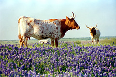 Cattle & Bluebonnets, Ennis Bluebonnet Trail (StevenM_61) Tags: flowers spring scenery texas cattle meadow 1997 wildflowers longhorn ennis bluebonnets lupines texaslonghorn