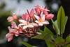 "Bunga Kemoja/Frangipane ""Plumeria rubra"" (esmerelda25) Tags: flower frangipane plumeria ipoh perak malaysia my"