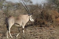 Beisa-Antilope, NGIDn1574261296 (naturgucker.de) Tags: oryxbeisa naturguckerde candreasschäfferling beisaantilope 1252846831 71435626 ngidn1574261296