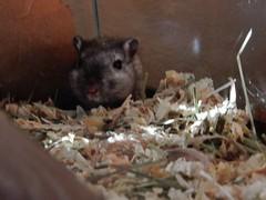 DSCN9778 Crumpet emerging (therovingeye) Tags: pets animals gerbil rodents gerbilhabitat