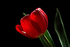 IMGP9736 Tulip (tsuping.liu) Tags: red plant flower nature blackbackground outdoor tulip redblack naturesfinest natureselegantshots