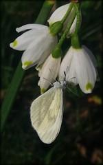 Leptidea sinapis  - Narin Ormanbeyazı  -Wood White (frkn_rn) Tags: world wild nature animal turkey natural earth wildlife türkiye springtime naturelover sakarya