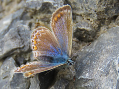 Common Blue (Polyommatus icarus) Butterfly (Brian Carruthers-Dublin-Eire) Tags: blue butterfly lepidoptera icarus common animalia arthropoda commonblue polyommatusicarus insecta lycaenidae commonbluebutterfly polyommatus polyommatini picarus
