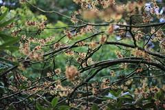 Hamamelis x intermedia Strawberries and Cream - Arboretum Kalmthout (stephenmid) Tags: belgium kalmthout