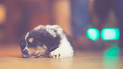 Finalized (Bokehschtig (back, but catching up slowly)) Tags: sleeping dog cute puppy puppies dof bokeh f14 sony 85mm cutie hund aussie australianshepherd walimex a7 samyang sonya7 samyang8514 walimexpro8514