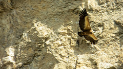 Avvoltoio in volo (Guly_Julien) Tags: espaa parco bird nature de spain natural natura canyon prey foz spagna birdofprey reserva gola navarra rapaz predatory rapace gole naturale riserva predatore lumbier rapaces rapaci avvoltoio