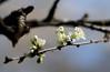Spring Plum Blossoms 66/366 (mrmoonlight35) Tags: blossom plumflower project366 jpkmar2016