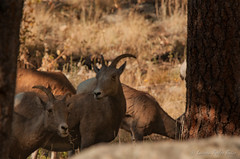 Bighorn Sheep, Ewe (Laurie-B) Tags: autumn usa mountain west fall america landscape us colorado sheep unitedstatesofamerica north central september american northamerica mountainside bighorn canadensis northamerican 2015 ovis explored