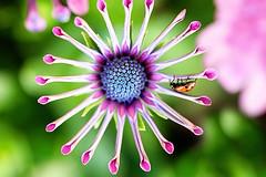 on the whirligig (barbara carroll) Tags: insect happy spring daisy ladybird ladybug africandaisy osteospermum inmygarden spiderdaisy whirligigdaisy
