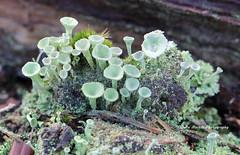 Cladonia pyxidata (juliam23) Tags: uk winter macro cup nature canon lens buxton norfolk pixie fungi heath heathland cladonia ef100mm pyxidata eos60d lichenised