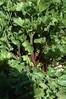 Celery Leaf  Redventure