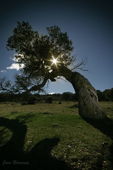 Eclipse (J. Barrena) Tags: wood trees sky espaa cloud sun tree sol arbol spain flora arboles guadalajara bosque cielo nube holmoak encina pedregal