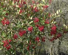 Toyon--Heteromeles arbutifolia (Polioptila caerulea) Tags: toyon heteromelesarbutifolia bigoakdr california nevadacounty