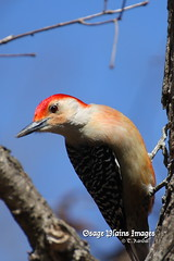 Red-Bellied Woodpecker (tvbare) Tags: red bird nature rural canon rebel woodpecker missouri t3 bellied bentoncounty missouribirds tvbare