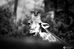 _DSC6069 (alessandro.spagnolli) Tags: zoo natura tamronlens naturalistica lecornelle parcofaunistico sonyalpha77