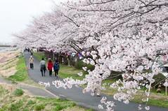 Bloomed (Wunkai) Tags: japan river  cherryblossom sakura riverbank dike embankment sakuragawa   bloomed  ibarakiken  mitoshi