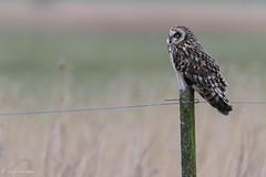 Short-eared Owl (Rob Blanken) Tags: shortearedowl asioflammeus velduil nikond810 sigmas150600mmf563dgoshsm
