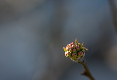 Promise (Captured Heart) Tags: tree hope spring faith buds promise springtime peartree hopeful flowerbuds