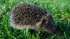Hedgehog Explorer (Deb Simpkins) Tags: nature face grass animal closeup fur nose spring eyes nikon wildlife bedfordshire ears coolpix hedgehog spines 2016 flitwick erinaceinae l840