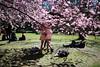 2016 (agnes.saabythomsen) Tags: pink spring forår lyserød kirsebærtræer bispebjergkirkegård