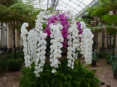The largest orchids (edenseekr) Tags: flowers orchids longwoodgardens