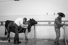 Down at the cow wash (melodramababs) Tags: cow hose farmer cowboyhat washing rubberboots