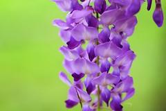 Wisteria (Jill-Wang) Tags: flower macro purple 100mm fujifilm wisteria greencolor leicar  xpro1