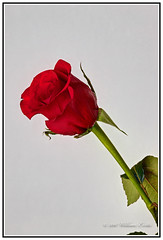 The Red Rose of St. George and St. Georges Day. (Bill E2011) Tags: red england history beauty rose canon power shakespeare tradition stgeorge venerablebede stgeorgeinengland