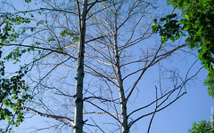 ,   / Bli, dumbrav mesteacn / Balti, Birch Grove (geoapimd) Tags: md moldova balti moldavia raduga birchgrove  beltsy   suburbanvillage   bli