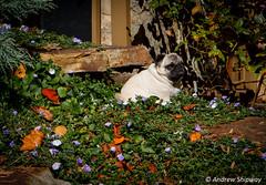 """Garden Pug"". Barratt Wines, Summertown, Adelaide Hills. (andrew52010) Tags: dog pug winery adelaide southaustralia adelaidehills summertown winerydog mountloftyranges barrattwines"