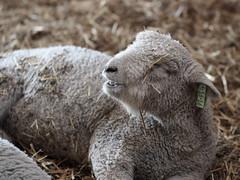 A bit sheepish, Kline Creek Farm. 5 (EOS) (Mega-Magpie) Tags: usa chicago west america creek canon outdoors eos illinois sheep outdoor farm dupage il kline 60d