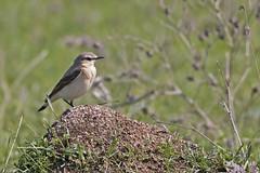 Northern Wheatear (Female) (keynowski) Tags: ngc animalplanet oenantheoenanthe northernwheatear canonef400mmf56lusm kuyrukkakan canon70d