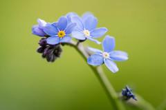 Vergissmeinnicht- forgetmenot (Myosotis) (ralfkai41) Tags: flowers plants nature outdoor natur blossoms pflanzen blumen forgetmenot blüten vergissmeinnicht