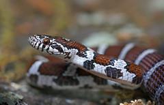 Eastern Milk Snake (cre8foru2009) Tags: red macro nature georgia reptile snake wildlife tamron milksnake easternmilksnake lampropeltistriangulumtriangulum herping