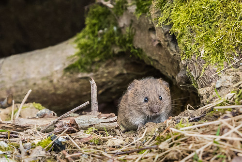 Peek-a-boo Mouse
