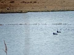 Two tufted ducks at Marwick (Dunnock_D) Tags: uk bird water grass birds swimming reeds scotland duck pond orkney unitedkingdom ducks grasses tuftedduck lochan marwick theloons