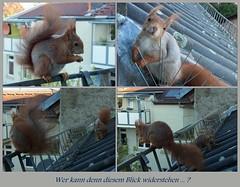 """wer kann denn diesem Blick widerstehen (flixx-ak) Tags: germany deutschland squirrel eichhörnchen mosaik 2016 flixxakoffenbachammainhessen """"anvormeinemfenster"""" ricoheh060416um9uhr"""
