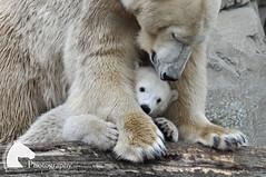 Baby Lili (Vicktrr) Tags: bear baby cute germany cub mother adorable fluffy polarbear breeding bremen captive lili bremerhaven zooammeer captivity eisbar polarbearcub