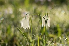 Kievitsbloem-9378 (Josette Veltman) Tags: macro photowalk lente zwolle overijssel landschap zeldzaam kievitsbloem kievitsbloemen photowalkzwolle checkersflower