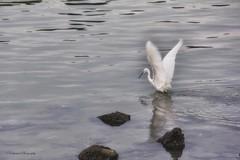 Take flight (cattan2011) Tags: macro nature animal reflections hongkong wing egret fluttering naturemasterclass