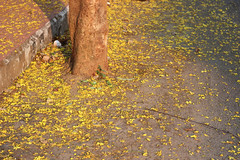 Yellow carpet (Nagarjun) Tags: beauty spring kerala amma aluva samrajyalakshmi