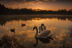 Romantic meeting (frantiekl) Tags: morning light sky reflection nature water animals clouds landscape dawn spring bravo outdoor swans romantic serene bohemia wildducks