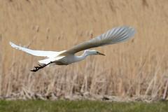 HNS_1150 Grote Zilverreiger : Grande Aigrette : Egretta alba : Silberreiher : Great Egret