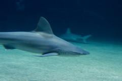 valencia 2016-121 (hiroke636) Tags: valencia shark mar peces tiburon oceano oceanografic