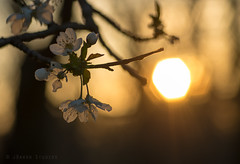 Spring Bloom and Sunset (James.Baron) Tags: sunset orange sun flower tree nature beautiful spring warm pittsburgh pentax bokeh pa bloom backlit northpark m85 pittsburghnature